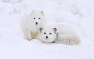 Read Aloud eBook The Arctic Fox