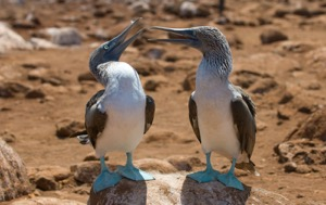 Read Aloud eBook the Blue-footed Booby