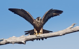 Read Aloud eBook the Peregrine Falcon
