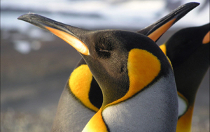 Read Aloud eBook the King Penguin