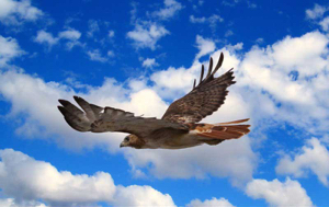 Read Aloud eBook the Red Tailed Hawk