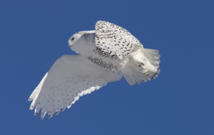 Read Aloud eBook The Snowy Owl