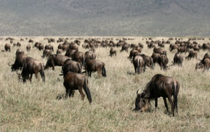 Read Aloud eBook The Wildebeest
